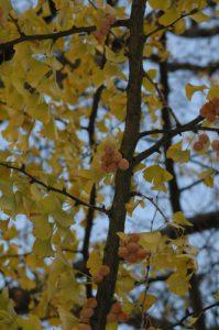Fruits du Ginkgo (Ginkgo biloba)<br> Parc du château de Rentilly<br> Site classé de la vallée de La Brosse et de La Gondoire