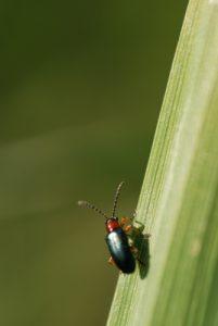 Criocère de l'orge (Oulemus melanopus) ou Léma à pieds noirs