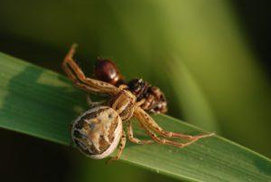 Araignée crabe  (Xysticus sp.) dévorrant une chenille<br> Réserve de Marne &amp; Gondoire