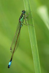 Ischnure élégante mâle (Ischnura elegans)<br> Réserve de Marne &amp; Gondoire
