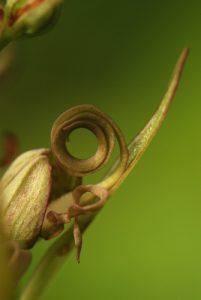 L'Orchis bouc (Himantoglossum hircinum)<br> Réserve de Marne &amp; Gondoire