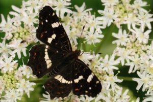 Le papillon Carte géographique (Araschnia levana)<br> Réserve de Marne &amp; Gondoire