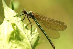 Libellule Caloptéryx éclatant femelle (Calopteryx splendens)<br> Site classé de la vallée de La Brosse et de La Gondoire