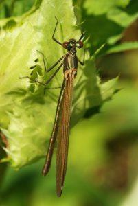 Libellule Caloptéryx éclatant femelle (Calopterys splendens)<br> Site classé de la vallée de La Brosse et de La Gondoire