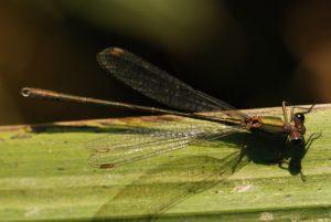 Leste vert mâle (Lestes viridis)<br> Réserve de Marne &amp; Gondoire