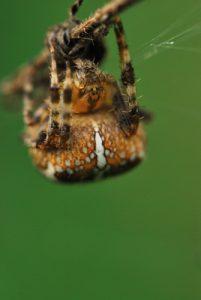 L'Épeire diadème (Araneus diadematus)<br> Site classé de la vallée de La Brosse et de La Gondoire