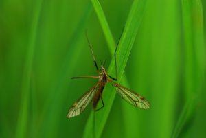 La Tipule printanière (Tipula vernalis)<br> Site classé de la vallée de La Brosse et de La Gondoire