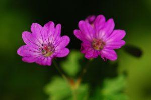 Géranium (Geranium sp.)<br> Site classé de la vallée de La Brosse et de La Gondoire