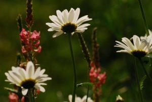 Marguerite commune (Leucanthemum vulgare) &amp; La Luzerne cultivée (Medicago sativa)<br> Réserve de Marne &amp; Gondoire
