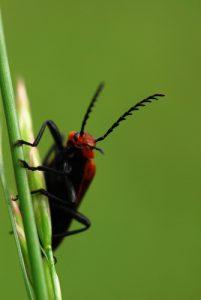 Le Cardinal à tête rouge (Pyrochroa coccinea)<br> Site classé de la vallée de La Brosse et de La Gondoire