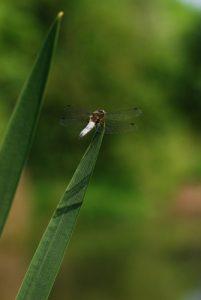 Libellule déprimée mâle (Libellula depressa)<br> Réserve de Marne &amp; Gondoire