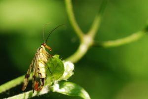 La Mouche-Scorpion (panorpa sp.)<br> Site classé de la vallée de La Brosse et de La Gondoire