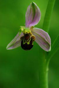 L'Ophrys abeille (Ophrys apifera)<br> Réserve de Marne &amp; Gondoire