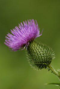 Cirse commun (Cirsium vulgare)<br> Site classé de la vallée de La Brosse et de La Gondoire