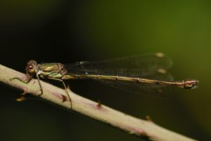 Leste vert femelle (Lestes viridis)<br> Vallée de La Brosse<br> Site classé de la vallée de La Brosse et de La Gondoire