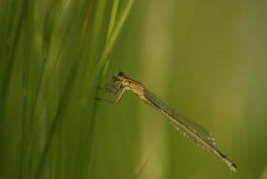 Ischnure élégante femelle immature de type C (Ischnura elegans)<br> Réserve de Marne &amp; Gondoire