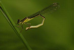Libellule Agrion élégant (Ischnura elegans)<br> Réserve de Marne &amp; Gondoire