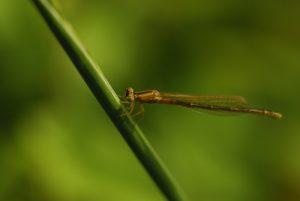 Libellule Agrion nain (Ischnura pumilio)<br> Réserve de Marne &amp; Gondoire