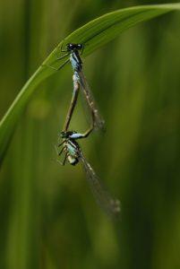 Accouplement d'Ischnures élégants (Ischnura elegans)<br> Réserve de Marne &amp; Gondoire