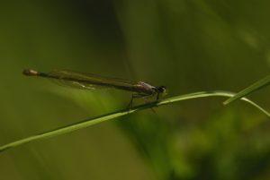 Ischnure élégante femelle immature de type A violacea (Ischnura elegans) <br> Réserve de Marne &amp; Gondoire
