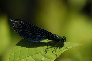 Caloptéryx vierge (Calopteryx virgo)<br> Site classé de la vallée de La Brosse et de La Gondoire