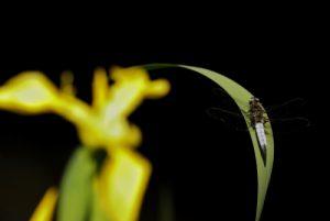 Libellule fauve mâle (Libellula fulva)<br> Réserve de Marne &amp; Gondoire