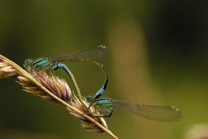 Accouplement d'Agrions élégants (Ischnura elegans) Réserve de Marne & Gondoire