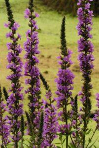 La Salicaire (Lythrum salicaria)<br> Site classé de la vallée de La Brosse et de La Gondoire
