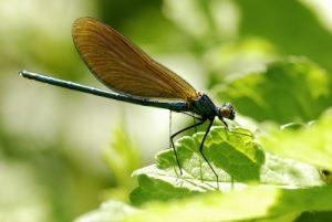 Libellule Caloptéryx vierge (Calopterys virgo)<br> Site classé de la vallée de La Brosse et de La Gondoire