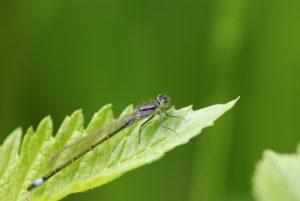 Ischnure élégante femelle immature de type A (Ischnura elegans) Réserve de Marne & Gondoire