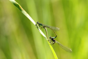 Accouplement d'Ischnures élégantes avec femelle immature de type A (Ischnura elegans) Réserve de Marne & Gondoire