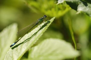 Ischnure élégante (Ischnura elegans) Réserve de Marne & Gondoire