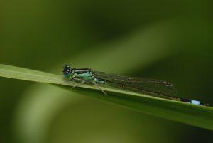Ischnure élégante ou Agrion élégant (Ischnura elegans) mâle. Réserve de Marne & Gondoire