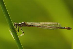 Ischnure élégante femelle immature (Ischnura elegans) -  [Critères : S8 clair, yeux rayés, l'épine vulvaire et le lobe postérieur du pronotum relevé] -  Réserve de Marne & Gondoire