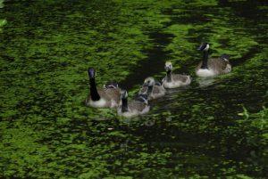 Couple et petits de Bernache du Canada (Branta canadensis) Réserve de Marne & Gondoire