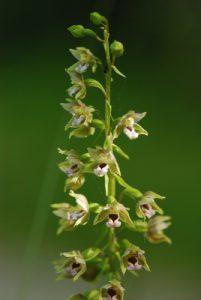 L'épipactis à larges feuilles, (Epipactis helleborine subsp. helleborine) -  Réserve de Marne & Gondoire