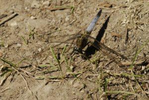 Orthétrum réticulé mâle (Orthetrum cancellatum) -  Réserve de Marne & Gondoire