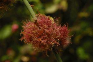 Bédéguar ou Gale de l'églantier provoquée par le Cynips de l'églantier (Diplolepsis rosae) Réserve de Marne & Gondoire