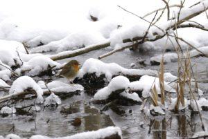 Le Rouge-gorge familier (Erithacus rubecula) est une espèce de passereau -  Réserve de Marne & Gondoire
