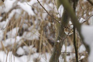 Le Chardonneret élégant (Carduelis carduelis) est une espèce de passereaux partiellement migrateurs -  Réserve de Marne & Gondoire