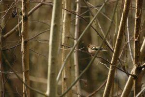 Le Pinson des arbres femelle (Fringilla coelebs)<br>  Etang de la Loy<br> Réserve de Marne &amp; Gondoire