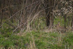 Le Lapin de garenne ou lapin commun (Oryctolagus cuniculus) Réserve de Marne & Gondoire