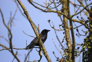 La Corneille noire (Corvus corone)<br>  Derrière l'étang de la Loy<br> Site Classé de la vallée de La Brosse et de La Gondoire