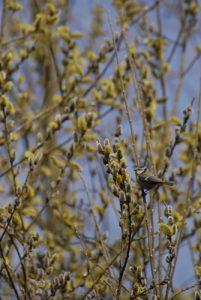 La Mésange bleue (Cyanistes caeruleus) -  Réserve de Marne & Gondoire