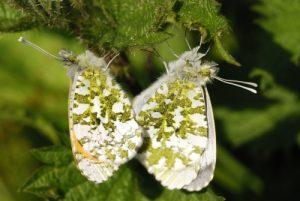 Accouplement du papillon Aurore (Anthocharis cardamines)<br> Site classé de la vallée de La Brosse et de La Gondoire