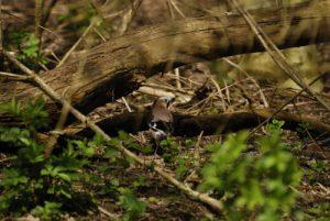 Le Geai des chênes (Garrulus glandarius) est une espèce de passereaux de la famille des Corvidae -  Réserve de Marne & Gondoire