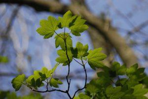 Jeune pousse d'Érable sycomore (Acer pseudoplatanus)<br> Site classé de la vallée de La Brosse et de La Gondoire