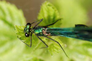Libellule Caloptéryx vierge mâle (Calopterys virgo)<br> Site classé de la vallée de La Brosse et de La Gondoire