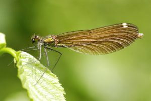 Libellule Caloptéryx vierge femelle (Calopterys virgo)<br> Site classé de la vallée de La Brosse et de La Gondoire