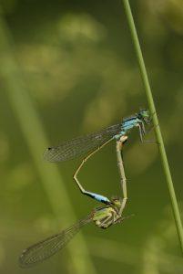Accouplement d'Ischnures élégants (Ischnura elegans) -  Réserve de Marne & Gondoire
